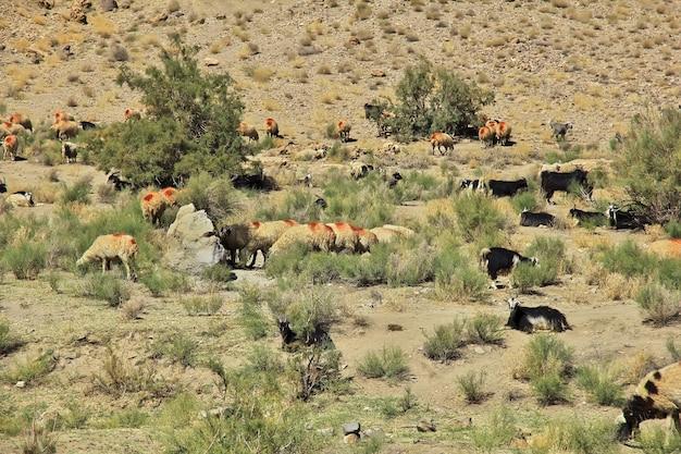 Ziege auf bergen des iran