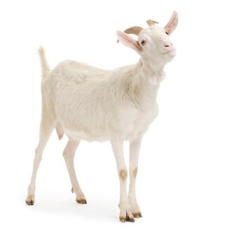 Ziege, die lokalisiert auf einem weißen hintergrund steht