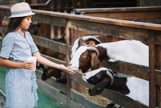 Ziege, die nahrung von der hand des mädchens auf dem bauernhof isst