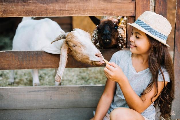 Ziege, die von der hand des mädchens sitzt außerhalb des zauns isst