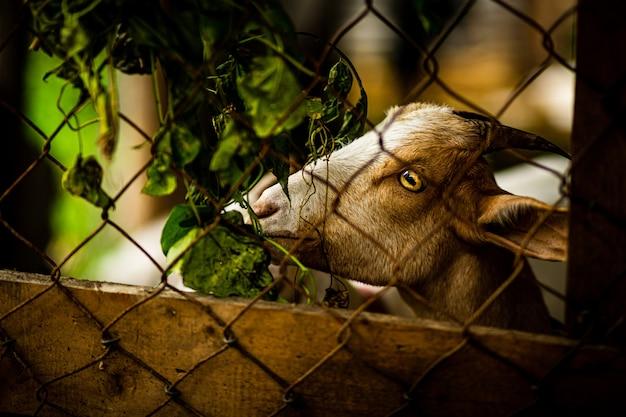 Ziege hinter einem zaun
