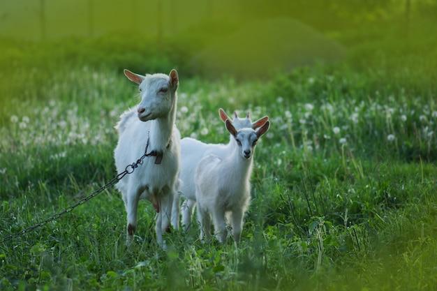 Ziege mit einem ziegenkind. familienziegen gegen grünes gras