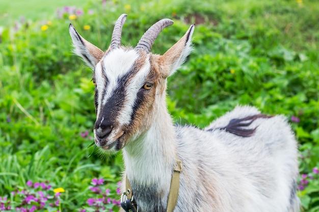 Ziege mit hörnern frisst im sommer gras auf weiden