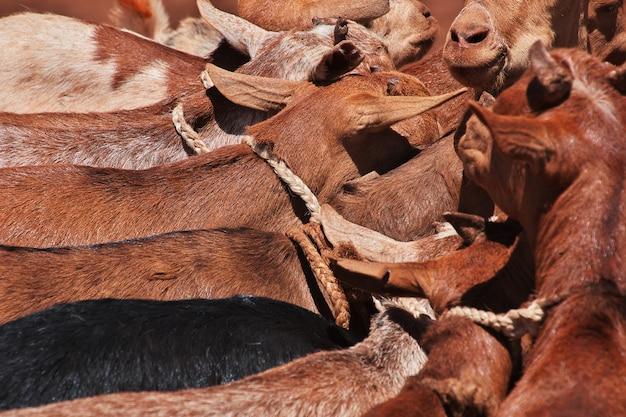 Ziegen auf dem lokalen markt in afrika, moshi