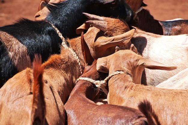 Ziegen auf dem lokalen markt in afrika