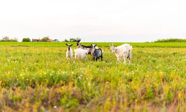 Ziegen auf der öko-farm essen gras