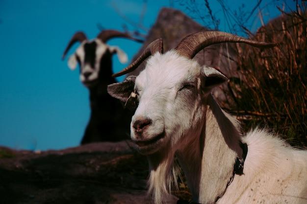 Ziegen auf einem berg in norwegen