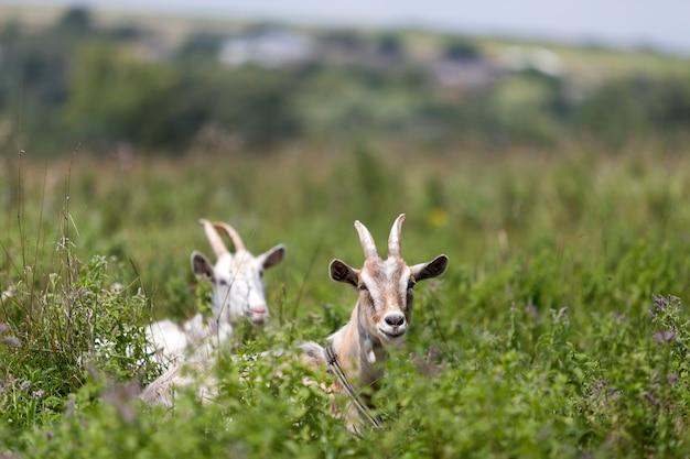 Ziegen, die auf den grünen grasartigen gebieten weiden lassen.
