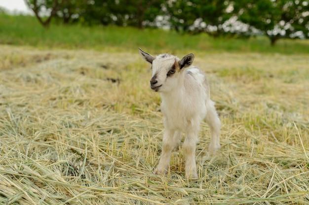 Ziegen, die auf frischem gras grasen.
