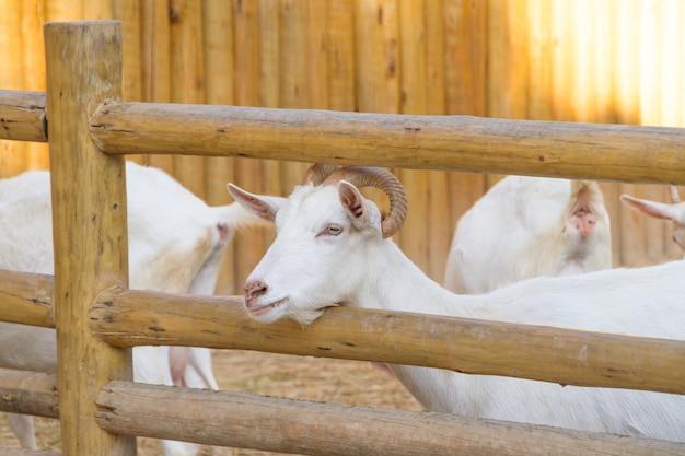 Ziegen essen auf einer farm in rio de janeiro brasilien.