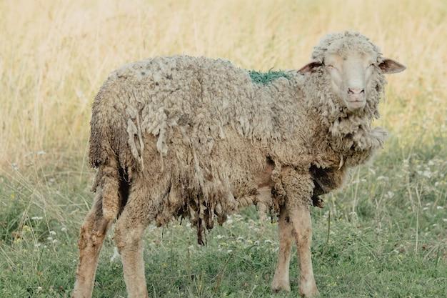 Ziegen in der natur. ein gehörnter ziegenkopf auf verschwommenem natürlichen hintergrund. weiße ziegen auf einer wiese einer ziegenfarm. ziege. porträt einer ziege auf einem bauernhof im dorf
