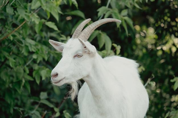 Ziegen in der natur. profilporträt ziegen. ein weißer gehörnter ziegenkopf auf verschwommenem natürlichen hintergrund. weiße ziegen auf einer wiese einer ziegenfarm. ziege. porträt einer ziege auf einem bauernhof im dorf