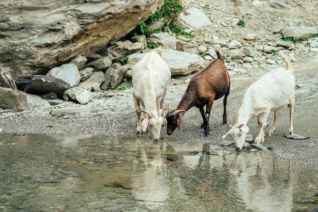 Ziegen laufen um die pfütze