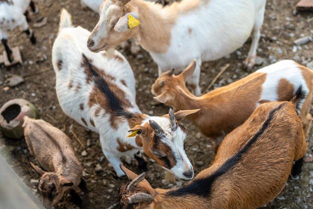 Ziegen und kleinkinder auf einer farm in den urdaibai-sümpfen, einem biosphärenreservat bizkaias neben mundaka. baskenland