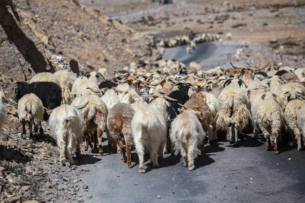 Ziegen und schafe verursachen verkehr im himalaya-gebirge entlang der autobahn leh nach manali, ladakh, jammu und kaschmir, indien. natur- und reisekonzept