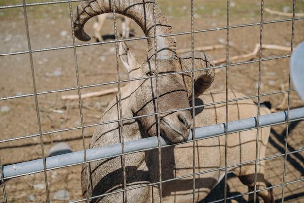Ziegenbock mit großen hörnern mit blick aus dem käfig im karelischen zoo. foto in hoher qualität