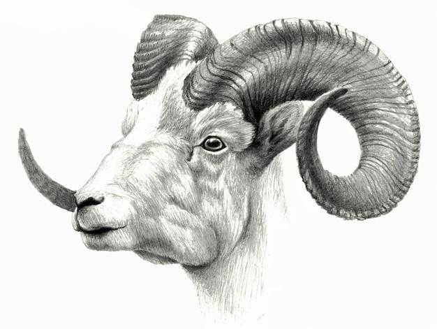 Ziegenkopf lokalisiert auf weißem hintergrund. bleistift zeichnen