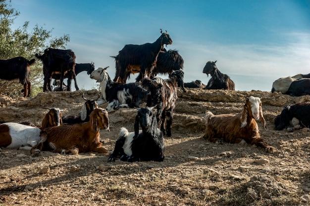 Ziegenlandwirtschaft in rajasthan, indien