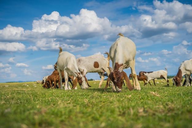 Ziegenziegen fressen gras auf einer weide in der landwirtschaft