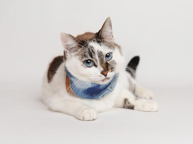 Ziemlich flauschige weiße blauäugige katze in einem blauen schal auf weißem hintergrund isoliert