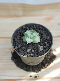 Zierpflanzen, agave potatorum, agavenarten, in töpfen, grüne blätter, natur eignen sich sehr gut zum dekorieren ihrer wohnumgebung natürlich gesund frisch