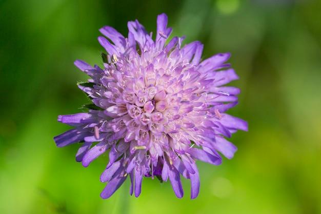 Zigeunerrose knautia arvensis lila blume auf einem feld im sommer, nahaufnahme