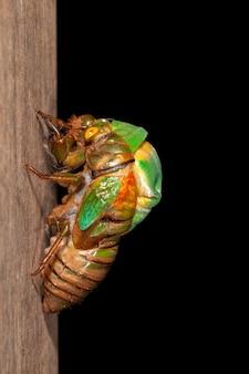 Zikadenhäutung exuviae entstehen