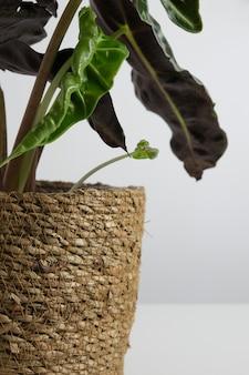 Zimmerpflanze alocasia auf weißem hintergrund trendiger minimalismus nahaufnahme