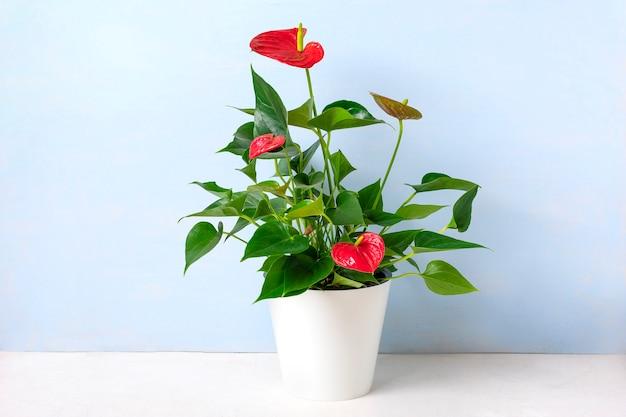 Zimmerpflanze anthurium im weißen blumentopf