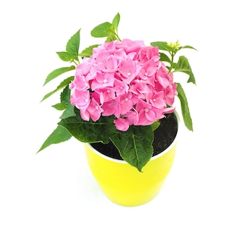 Zimmerpflanze blüht rosa hortensie in einem hellgrünen topf.