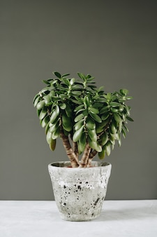 Zimmerpflanze crassula ovata jadepflanze geldbaum gegenüber der wand.