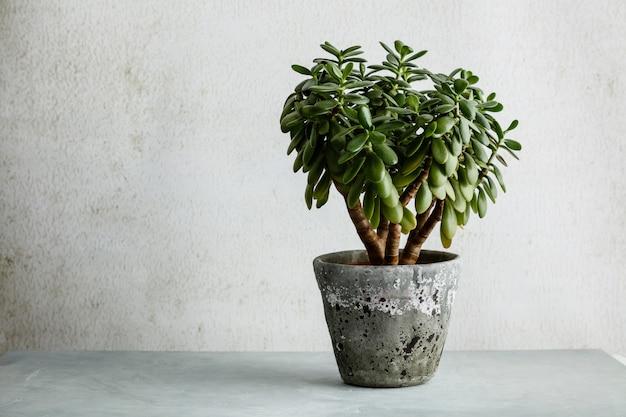 Zimmerpflanze crassula ovata jadepflanze geldbaum gegenüber der weißen wand.