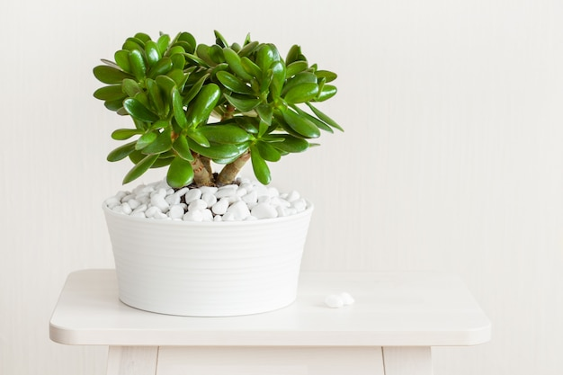 Zimmerpflanze crassula ovata jadepflanze geldbaum im weißen topf