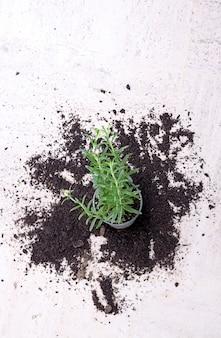 Zimmerpflanze, die auf eine weiße oberfläche gefallen ist, umgeben von verschütteter erde