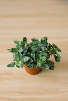Zimmerpflanze fittonia dunkelgrün mit weißen streifen in einem braunen topf