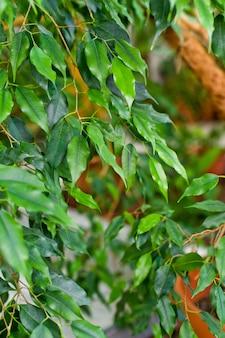 Zimmerpflanze im topf. wohnkultur und baum liebhaber konzept.