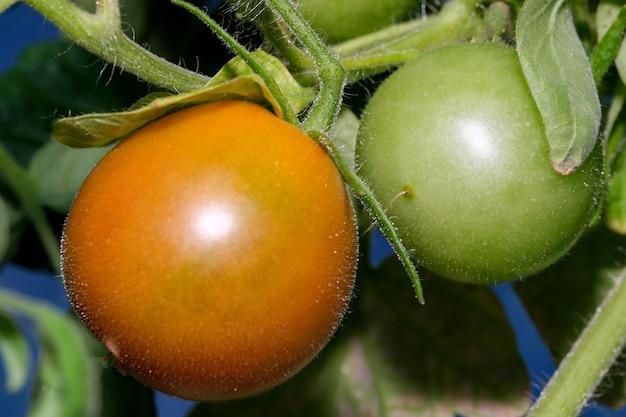 Zimmerpflanze tomate reift auf einem ast auf einem balkon in einer stadtwohnung aus nächster nähe