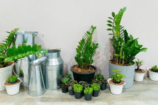 Zimmerpflanzen im wohnzimmer, zimmerpflanze zur dekoration des raumes.