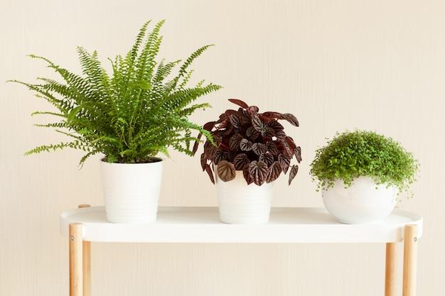Zimmerpflanzen nephrolepis, peperomia caperata, soleirolia soleirolii in weißen blumentöpfen