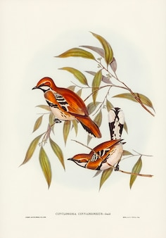 Zimtfarbener cinclosoma (cinclosoma cinnamomeus), illustriert von elizabeth gould