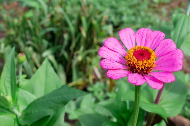 Zinnia oder majora blume in rosa auf grünem hintergrund mit kopienraum. anbau und zucht von gartenpflanzen, landschaftsgestaltung des geländes. Premium Fotos