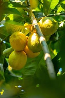 Zitronenbaum mit früchten, schöner zitronenbaum. selbst gemachte organische zitronen hängen an einem zitronenbaum. zweig mit zitronen großen plan.