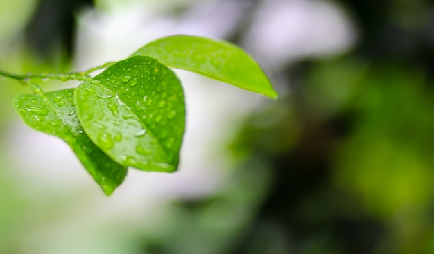 Zitronenblätter mit tropfenwasser auf grünem hintergrund.
