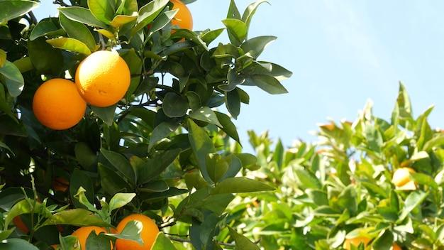 Zitrus-orangenfrucht am baum, kalifornien usa. frühlingsgarten, amerikanische landwirtschaftliche plantage, gehöftgartenbau. saftige frische blätter, exotische tropische ernte am zweig. frühlingshimmel.