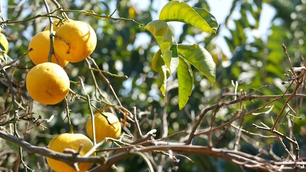 Zitrus-orangenfrucht am baum, kalifornien usa. frühlingsgarten, amerikanische landwirtschaftliche plantage, gehöftgartenbau. saftige frische blätter, exotische tropische ernte am zweig. frühlingssonne.