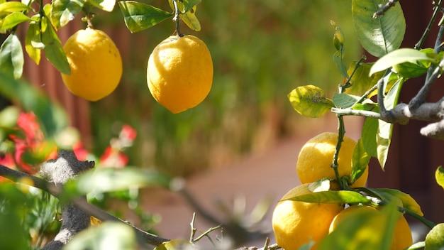 Zitrus zitronengelber obstbaum, kalifornien usa. frühlingsgarten, amerikanische landwirtschaftliche plantage, gehöftgartenbau. saftige frische blätter, exotisches tropisches laub, ernte am zweig.