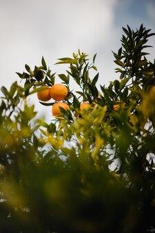 Zitrusfrüchte auf einem ast