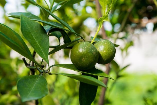 Zitrusfrüchte wachsen