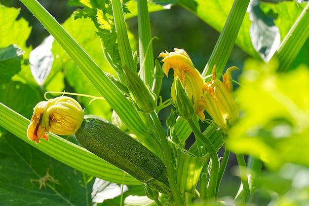 Zucchinipflanze. zucchiniblüte. grünes pflanzenmark, das auf busch wächst.