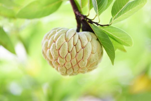 Zuckerapfel oder vanillepuddingapfel auf baum im natur-grünhintergrund der tropischen frucht des gartens. annona süßigkeiten
